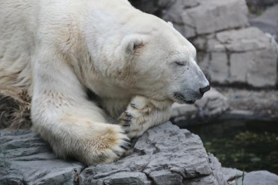 Uma sonequinha do urso polar...