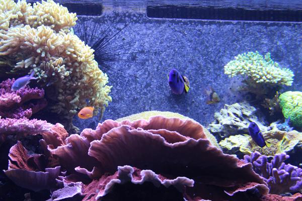 Um dos aquários com corais e peixes palhaços dentre outros...