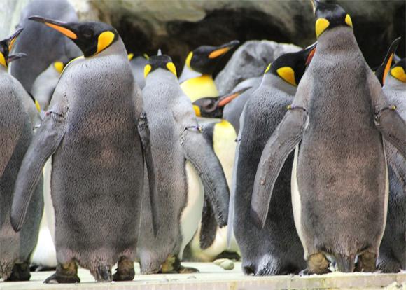 Os pinguins no frio de congelar, você entrad dentro do habitat deles.