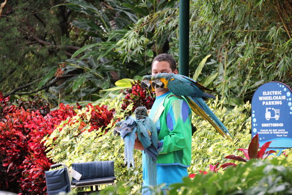 Profissional se preparando para entrar com as aves no show Blue Horizon, um cuidado imenso com os animais...