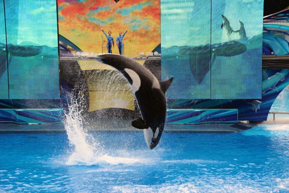 Shamu, a baleia orca do Seaworld.