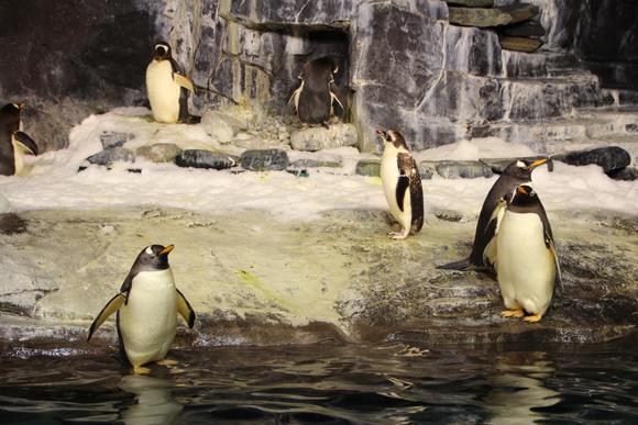 Os pinguins bem confortáveis a -1ºC.